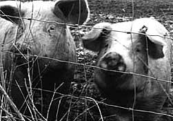 essay animal farm satire
